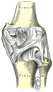 Gelenkkapsel Bänder Knie