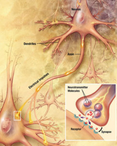 Synapsen Verbindung unserer Nerven neuronale Weiterleitung BodyLab Osteopathie Physiotherapie Rehabilitation Training Zürich Altstetten
